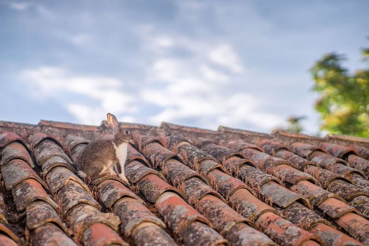 Low angle view of hare on tile roof against sky