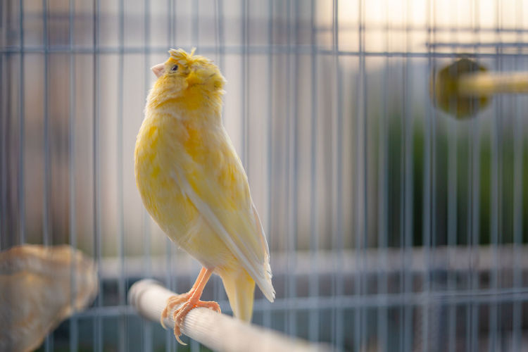 close up of a caged yellow canary bird Cage Animal Themes Bird Animal Birdcage Vertebrate Parrot Animals In Captivity One Animal Pets Yellow Domestic Parakeet No People Focus On Foreground Domestic Animals Close-up Animal Wildlife Metal Budgerigar Canary