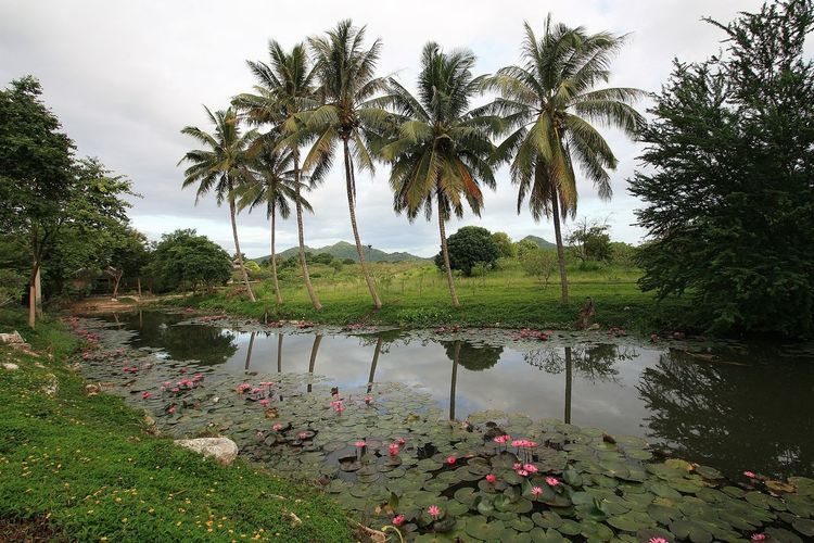 Palm Trees Lotus Flower Resort Thailand