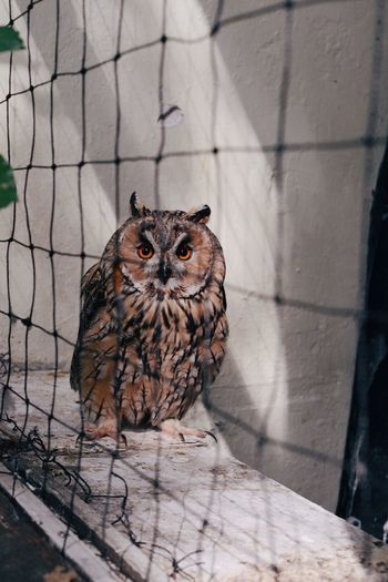 Portrait of owl in cage