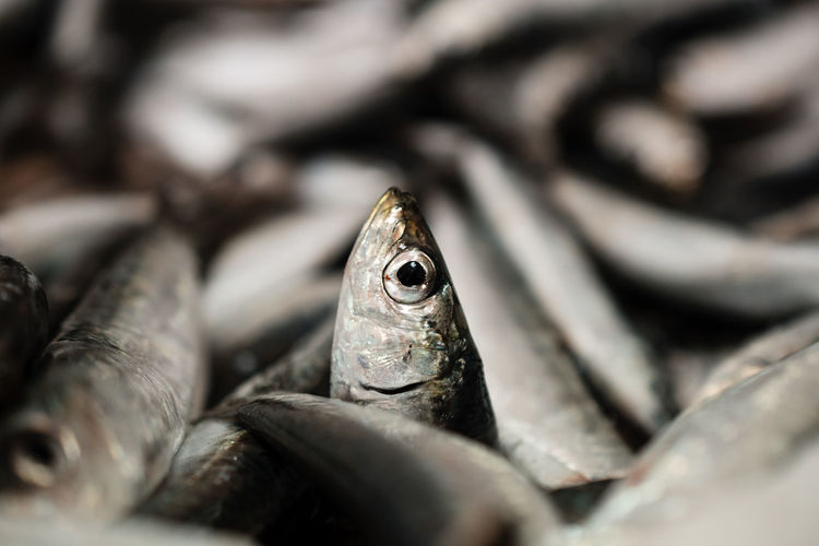 Close-Up Of One European Sardine Or Sardina Pilchardus In A Larger Pile Of Freshly Caught Sardines Lined Up For Sale In Greek Fish Market European  Food And Drink Frozen Ice Market Mediterranean Food Seafood Animal Close-up Fish Fish Market Fishing Food Greek Food Healthy Eating Heap Market Stall No People Pile Raw Food Saltwater Fish Sardina Pilchardus Sardine Sardines Selective Focus