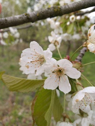 Flower Nature White Color Springtime
