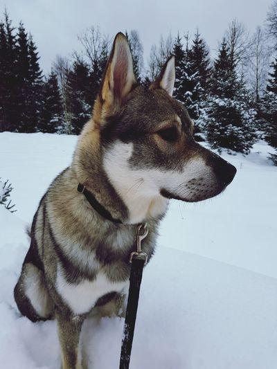 Nature Dog Hunting Moosedog