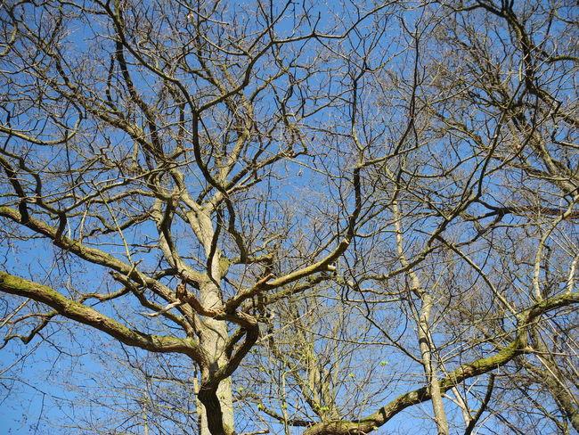 Low Angle View Tree Sky Nature No People Clear Sky Outdoors Branch Beauty In Nature Growth Day Backgrounds Close-up Bare Tree Spring Springtime Oak Oak Tree Forår Træ Træer Egetræ Egetræer - in The Danish Countryside