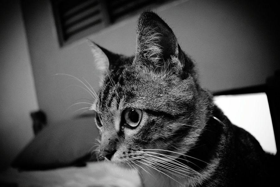 Domestic Cat Pets Domestic Animals Feline