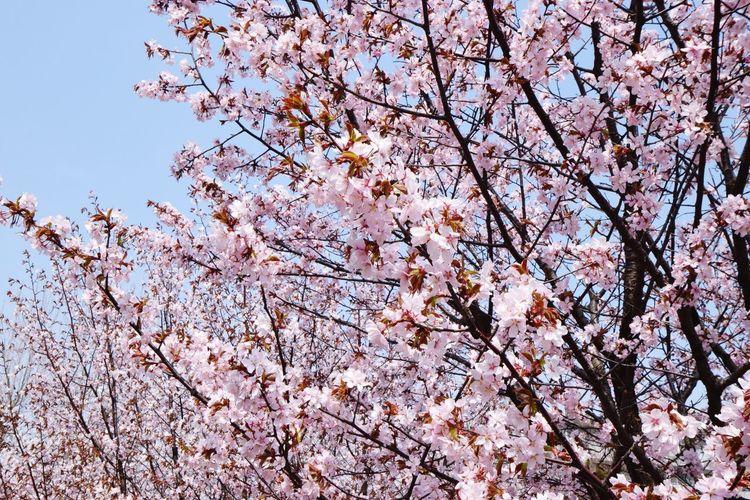SAKURA Sakura Tamron Sapporo NIKON D5300 EyeEmNewHere Plant Tree Flowering Plant Flower Branch Growth Low Angle View