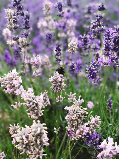 our natures honey bee Purple Lavender Honey Bee Bee Nature Insect Plant Outdoors Beauty In Nature Pollination First Eyeem Photo EyeEmNewHere