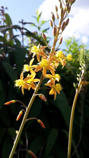 Bulbine Frutescens Medicuspflanze Nahaufnahme 43 Golden Moments Close-up Freshness Beauty In Nature Fragility Outdoors No People Day Nature Plant Flower Yellow Flower