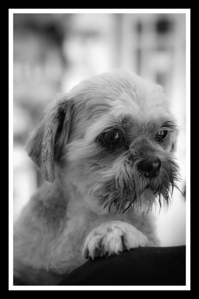 Dog Pets Domestic Animals Looking Away Close-up County Down Northern Ireland Maisie