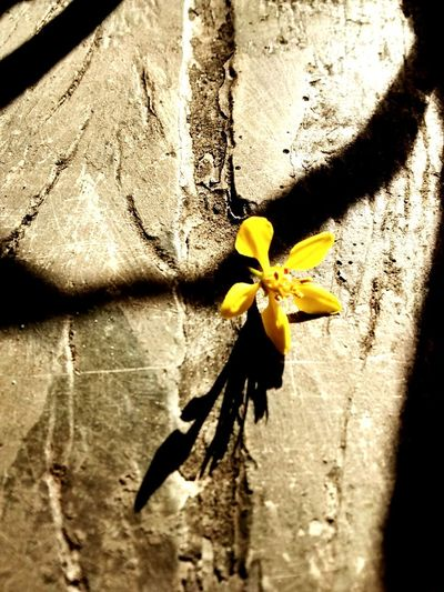 Amarelou Flower Yellow Nature Shadow Sunlight Beauty In Nature No People Flower Head Outdoors Macro Photography Beautiful Day Sun Nature Beauty
