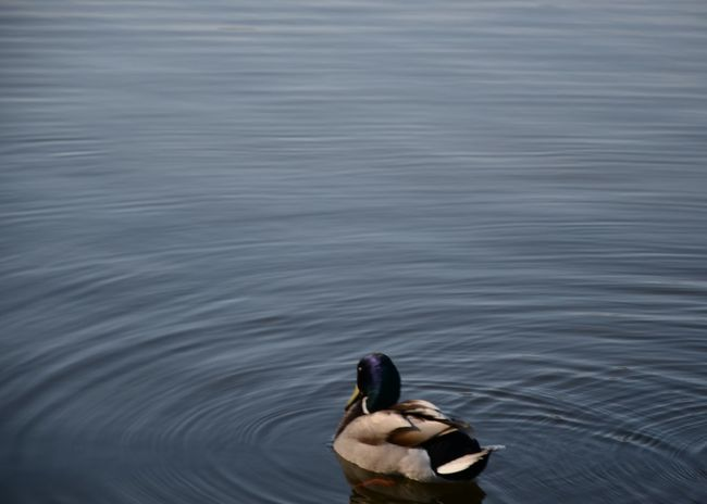 Duck Lake Water Reflections Nature Blue Space Water Water Ripples Simple Animal Calm The Week On EyeEm