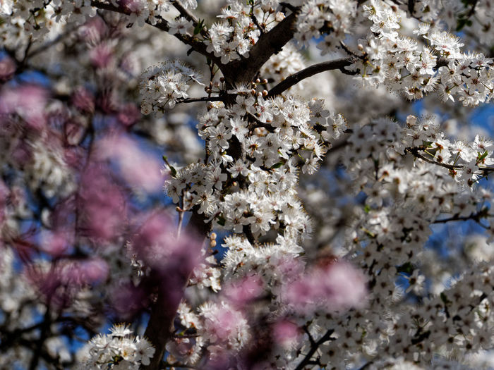 Flower Plant Blossom Flowering Plant Growth Beauty In Nature Fragility Springtime Tree Freshness Branch Vulnerability  Cherry Blossom Nature Day Close-up No People Selective Focus Outdoors Cherry Tree