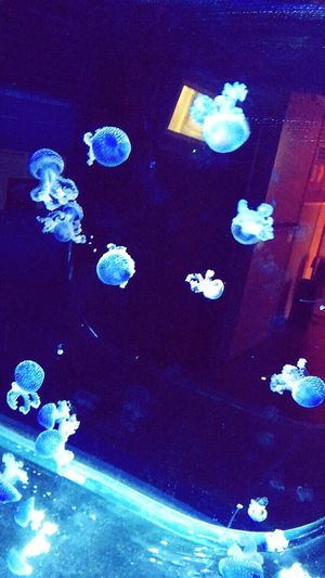 Pula Jellyfish