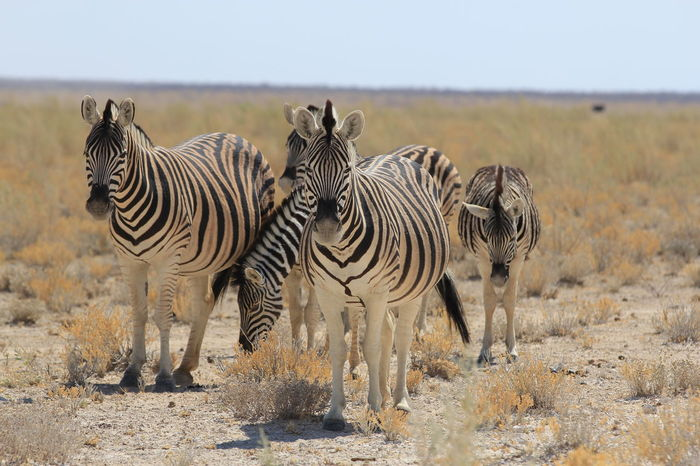 Animals In The Wild Family Lillstyle Namibia Savannah Africa Animal Themes Animal Wildlife Animals In The Wild Arid Climate Background Beauty In Nature Day Mammal Nature No People Outdoors Safari Animals Young Animal Zebra