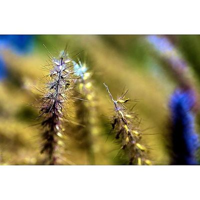 This lump of fountain grass has so much detail Fountaingrass Fstoppers Drygrass Bokeh Dof Depthoffield Fotofanatics_nature_ Fotofanatics_flowers_ Rsa_macro Electric_macro Show_us_macro Tgif_macro Hot_macros Macro_club Rsa_nature Tv_depthoffield Tv_dof Macrophotography Photography Flowers Floral Nature Details Macro Macroworld_tr macroflowerresourcemagopenthemefstopmagazine