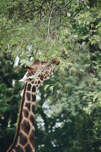 giraffe enjoys her lunch. One Animal Animals In The Wild Animal Wildlife Animal Themes Giraffe Nature Close-up Outdoors Tree Mammal No People