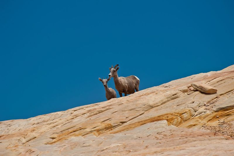 Low angle view of goats on rock formation against clear blue sky
