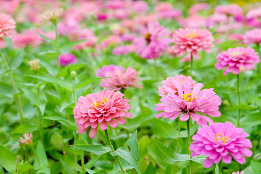 Pink daisy gerbera flowers in garden Garden Flowers Beauty In Nature Blooming Close-up Daisy Gerbera Flowers Day Flower Flower Head Fragility Freshness Gerbera Gerbera Daisy Green Color Growth Nature No People Outdoors Petal Pink Color Pink Daisy Pink Flower Plant Zinnia