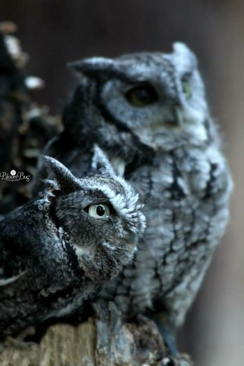 """This is an Eastern screech owl. They are found in two colors """"phases"""": red and grey.. Grey phase owls have varying amount of dark or black streaks on their underside and dark mottling contrasting sharply with overall grey plumage. Owl"""