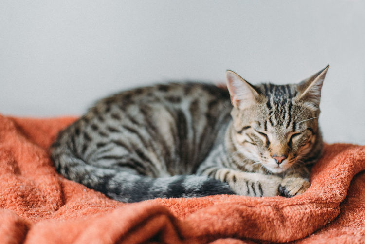 Close-up portrait of cat sleeping