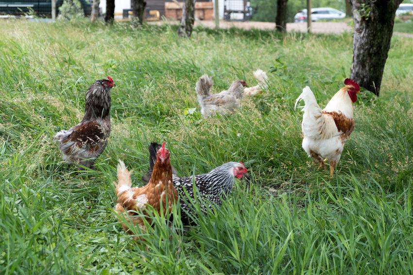 Agriculture Animal Themes Bird Chicken Chicken - Bird Domestic Animals Field Grass Livestock Medium Group Of Animals Outdoors