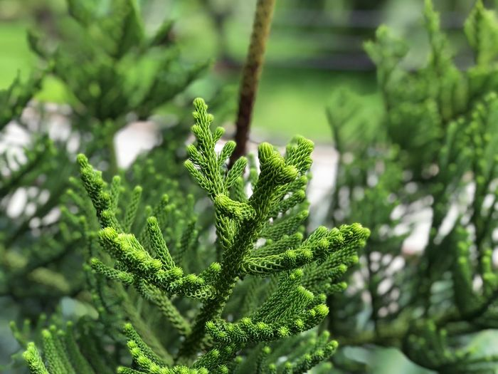 Araucaria heterophylla (norfolk island pine) Green Color Plant Growth Focus On Foreground Beauty In Nature Close-up Day Leaf No People Nature Plant Part Selective Focus Tree Outdoors Freshness Fern Pattern Sunlight Food And Drink Vulnerability
