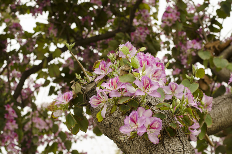 Bauhinia Bauhinia Blossom Beauty In Nature Bloom Blossom Branch EyeEmNewHere Floral Flower Fresh Nature Nature Orchid Orchid Tree Outdoors Pink Color Pink Flower Spring Flowers Springtime Tree Tropical Millennial Pink