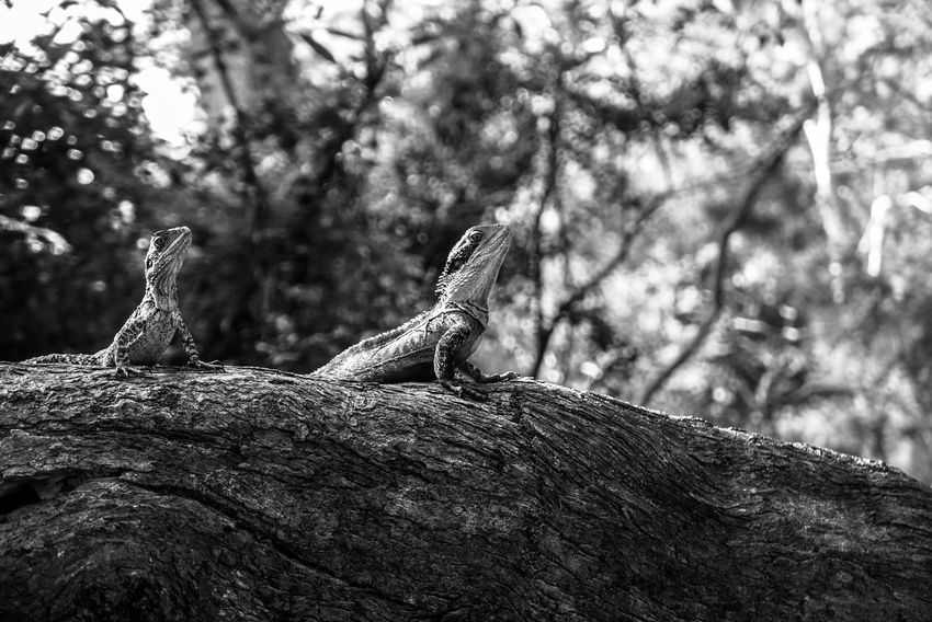 Reptiles sunbathing Black And White Light And Shadow Monochrome Reptile Animals In The Wild Tree Lizard One Animal Day Animal Wildlife Animal Themes Nature Outdoors Branch No People Tree Trunk Iguana Perching Focus On Foreground Close-up