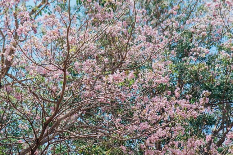 Tabebuia in Penang Tabebuia Plant Tree Flower Beauty In Nature Flowering Plant Growth Branch Fragility Nature Freshness Tranquility Vulnerability  No People Blossom Day Low Angle View Land Pink Color Springtime Outdoors Cherry Blossom Cherry Tree Spring Sakura