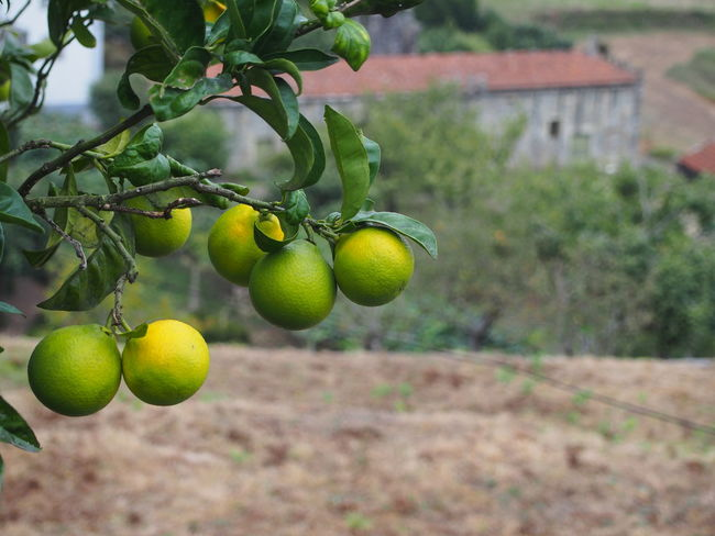 Limes Beauty In Nature Branch Camino Portugués De Santiago Citrus Fruit Close-up Day Focus On Foreground Food Food And Drink Freshness Fruit Green Color Growth Hanging Healthy Eating Leaf Lemon Lemon Tree Nature No People Outdoors Tree