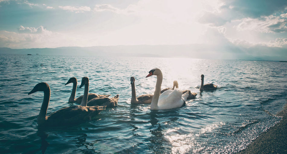 Swans swimming on sea against sky