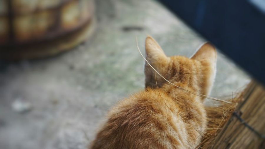One Animal Domestic Cat Pets Domestic Animals Feline Animal Themes Mammal No People Day Ginger Cat Close-up Outdoors Siamese Cat
