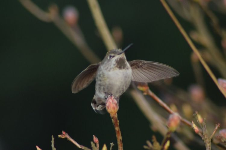 Hummingbird No