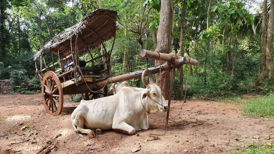 View of a lying zebu next to the cart