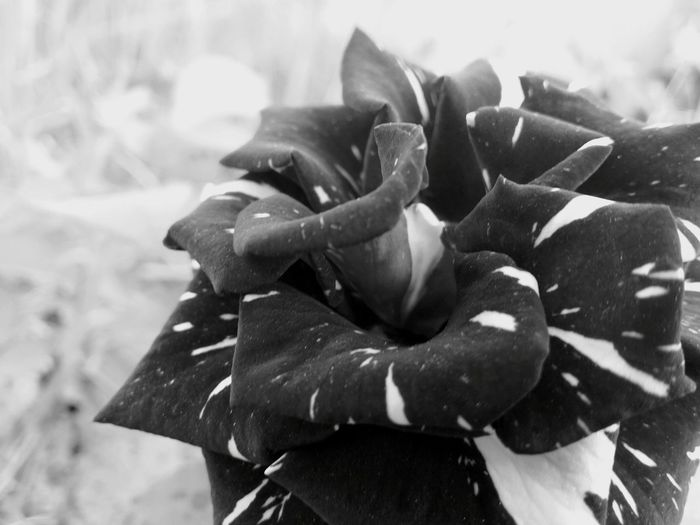 Rose♥ Doublecolor Black And White Nature
