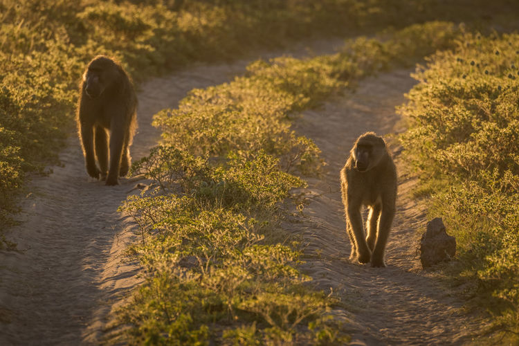 Baboons Walking On Footpath Amidst Plants