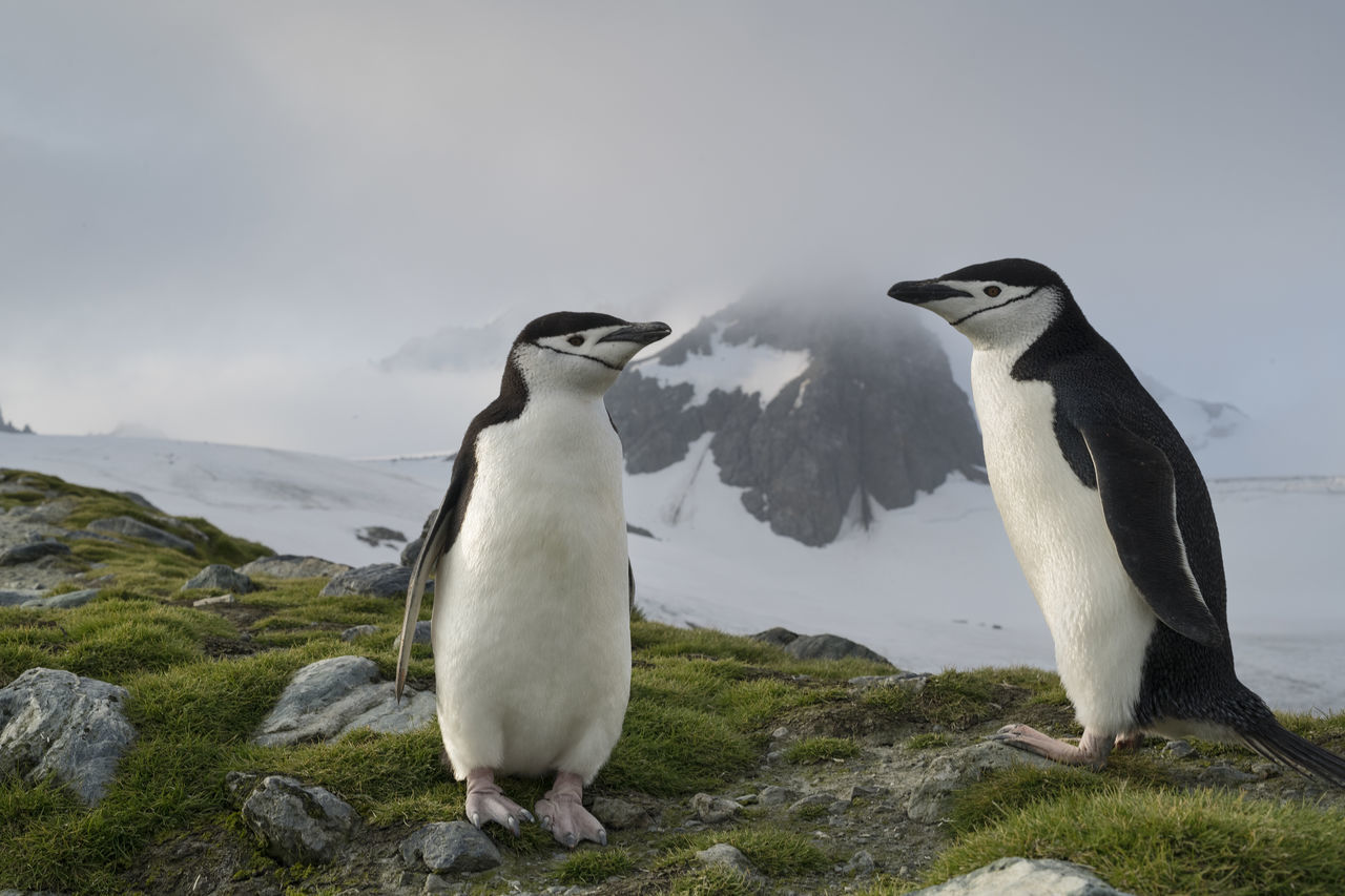 group of animals, animal themes, animal wildlife, animal, bird, vertebrate, animals in the wild, penguin, two animals, no people, rock, nature, rock - object, sky, day, land, solid, focus on foreground, outdoors, animal family