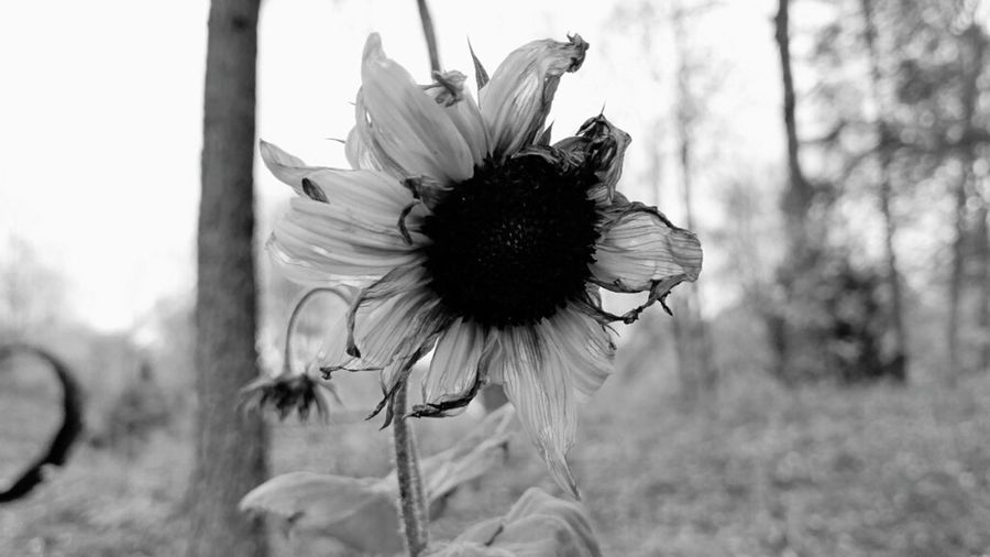 Black And White Friday EyeEm Selects Plant Day No People Outdoors Close-up White Color Fragility Nature Sunflower flower