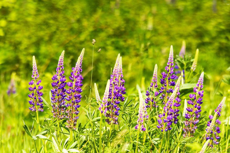 Flower Flowering Plant Plant Freshness Beauty In Nature Growth Nature Fragility Vulnerability  Purple Green Color Day Close-up Field Land Focus On Foreground No People Inflorescence Flower Head Petal Outdoors Springtime Flowerbed Spring Lupines Lupine Bloom Blossom Summer