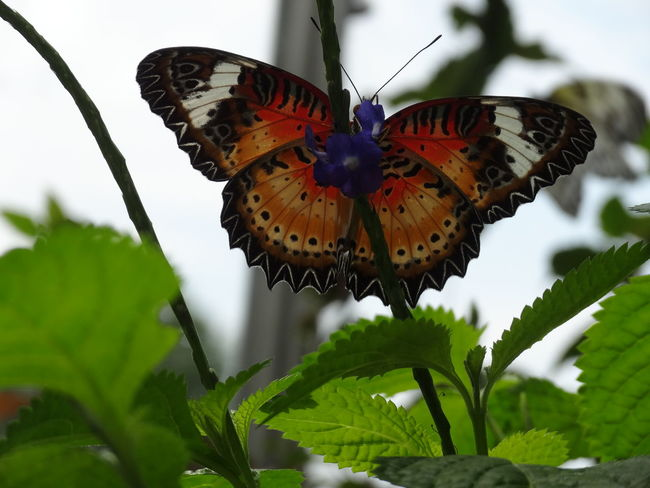 Beautiful Black Brown Butterfly Closeup Green Leaves Leaves🌿 Leopard Lacewing Nature Orange Silhouette White Color