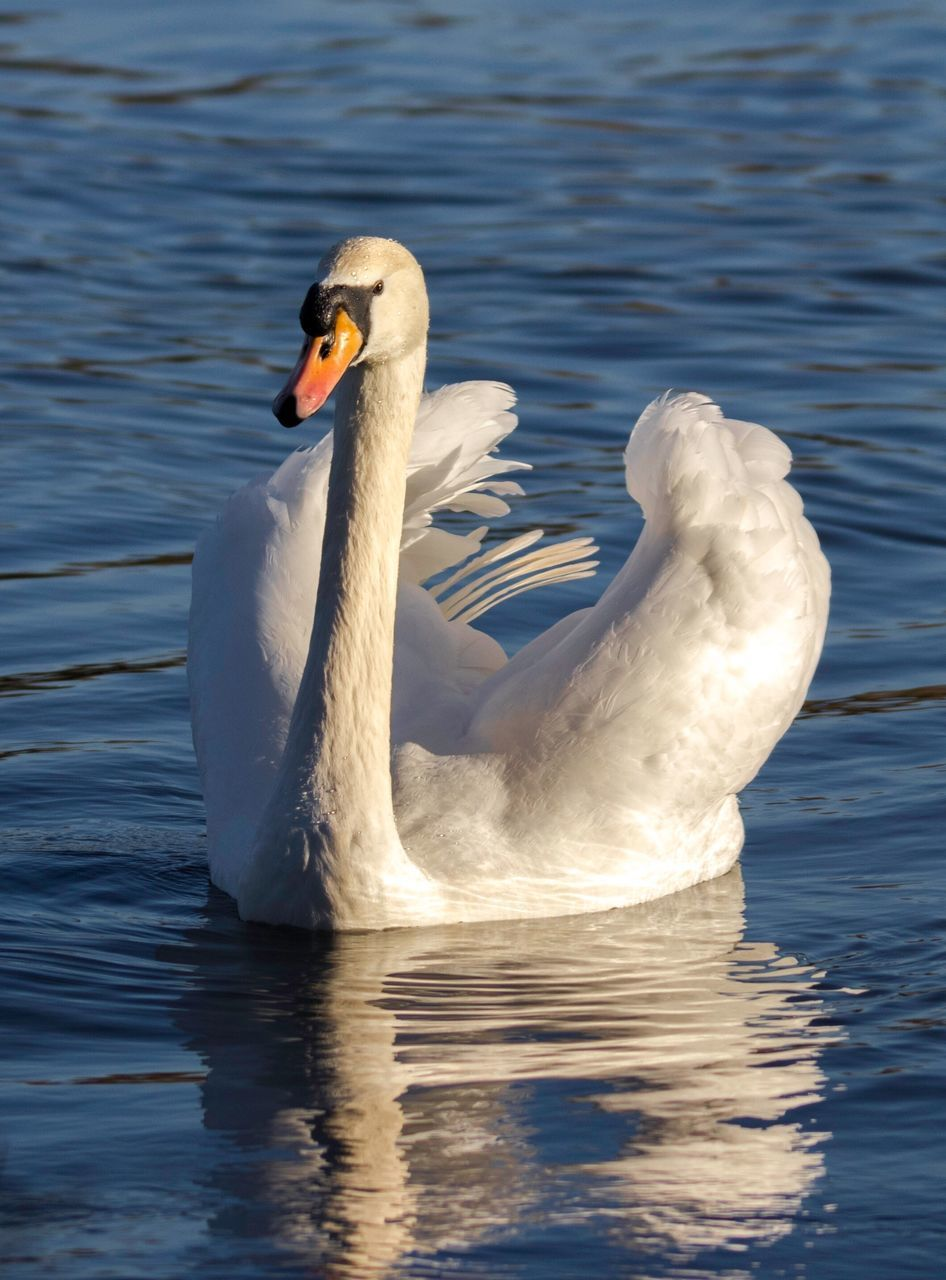 one animal, animals in the wild, animal themes, white color, lake, animal wildlife, swimming, bird, water, waterfront, water bird, day, no people, nature, swan, beak, outdoors, close-up, beauty in nature