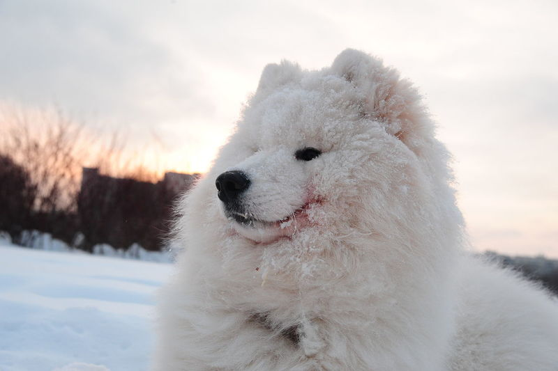 Close-up of a dog on snow