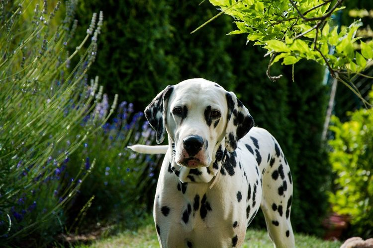 Dog Dogs Dalmatian Dalmata Lavender Dalmation Dalmations