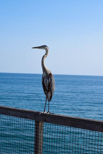 Gray heron perching on railing against sea