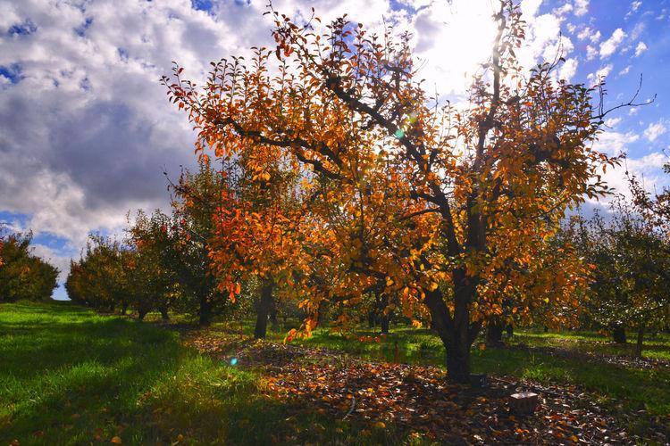 EyeEmNewHere Autumn Fruit Tree No People Orange Color Orchard Outdoors Plant Sky Sunshine Tranquility Tree