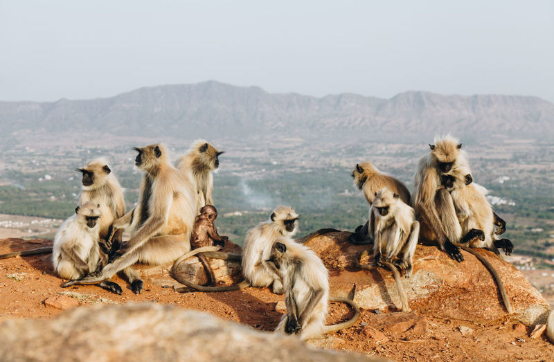 Animal Themes Animal Wildlife Animals In The Wild Baby Monkey Day Family Gray Langur Group Of Monkeys Large Group Of Animals Mammal Monkeys Nature No People Outdoors Sky