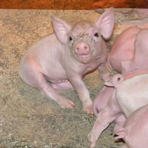Malac Malacka Sertés Pig Pigsagram Piglet Animal állat