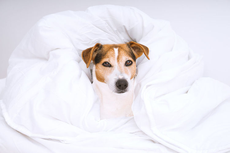 Portrait of cute dog jack russell wrapped in white and looking at camera. Housekeeping routine and laundry concept One Animal Canine Mammal Pets Dog Animal Themes Domestic Animal Domestic Animals Vertebrate No People Indoors  White Color Bed Young Animal Portrait Looking At Camera Relaxation Furniture Textile Animal Head  Laundry Duvet Jack Russell Terrier Routine Housekeeping Washing