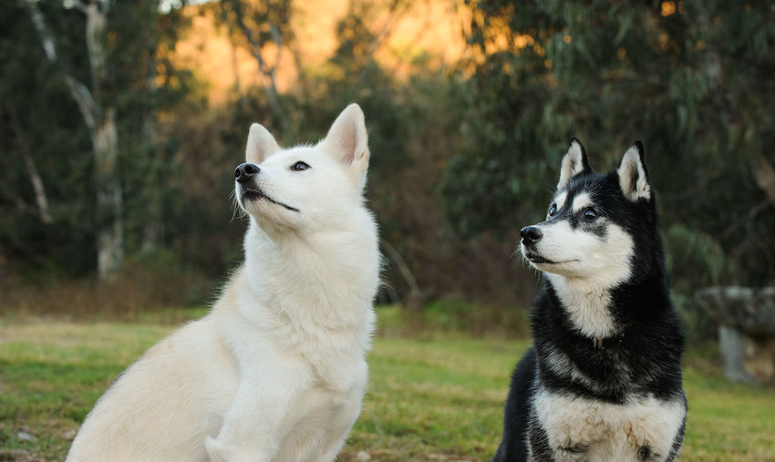 Siberian Husky dog Nature Siberian Husky Animal Animal Themes Canine Day Dog Dog Photography Domestic Domestic Animals Group Of Animals Husky Looking Away Mammal Nature No People Outdoors Pets Portrait Siberian Siberian Husky Sled Dog Two Animals