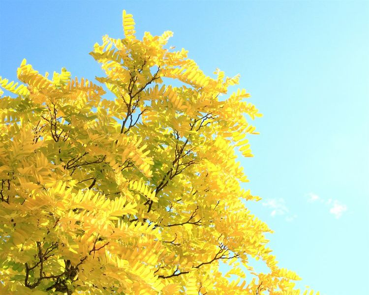 the Colors Of Autumn | Yellow Blue Tree Sky Nature Leaves Autumn Fall Bright Colors Colours Intense Bright EyeEm Nature Lover Learn & Shoot: Balancing Elements Sunny Day Season  Showcase March Traveling Travelling New Zealand Picton  Harbour Nature In The City Nature's Diversities Paint The Town Yellow